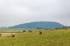 在高地的长毛的苏格兰母牛,苏格兰 免版税库存照片
