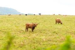 在高地的长毛的苏格兰母牛,苏格兰 免版税库存图片