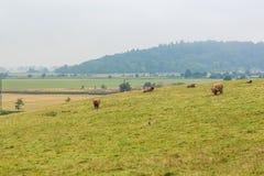 在高地的长毛的苏格兰母牛,苏格兰 免版税图库摄影