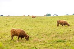 在高地的长毛的苏格兰母牛,苏格兰 库存照片