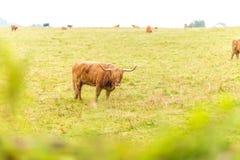 在高地的长毛的苏格兰母牛,苏格兰 库存图片