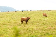 在高地的长毛的苏格兰母牛,苏格兰 图库摄影