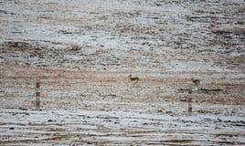 在高地,西藏,中国的藏羚羊 免版税图库摄影
