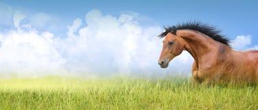 在高夏天草,横幅的红色马 免版税库存图片