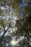 在高大的树木下分支,黄色离开与自然太阳光芒和蓝天背景,春季 库存图片