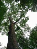 在高大的树木下树荫在热带的/绿化叶子树背景 库存照片