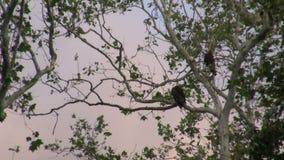 在高大的树木栖息的雕 股票视频
