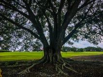在高尔夫球场的大橡树 库存照片
