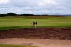 在高尔夫球场的狗 图库摄影