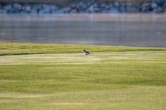 在高尔夫球场的矶鹞有绿草的 库存照片