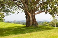 在高尔夫球场的结构树 图库摄影