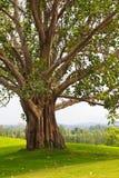 在高尔夫球场的结构树 库存图片