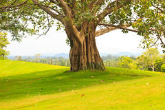在高尔夫球场的结构树 免版税库存图片