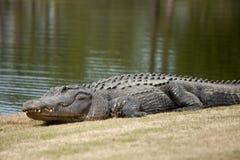 在高尔夫球场的野生鳄鱼 库存照片