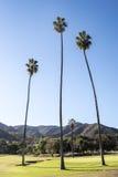 在高尔夫球场的高棕榈树 免版税库存图片