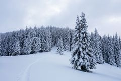 在高山和峰顶中的一冷淡的美好的天是用白色蓬松雪盖的不可思议的树 图库摄影