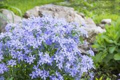 在高山小山的蓝色福禄考 库存图片