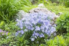 在高山小山的蓝色福禄考 图库摄影