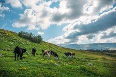 在高山山的田园诗风景与吃草在新鲜的绿色草甸的母牛 免版税库存图片