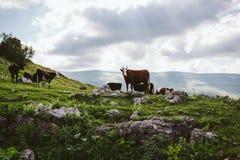 在高山山的田园诗风景与吃草在新鲜的绿色草甸的母牛 库存图片