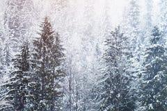在高山山的美丽的积雪的冷杉木 库存图片