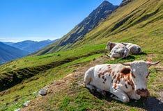 在高山牧场地的母牛。 库存照片