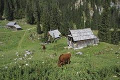 在高山牧场地的母牛 库存图片