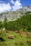 在高山牧场地的母牛 库存照片