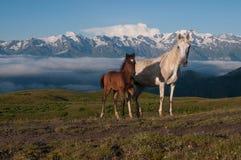 在高山的二匹马 免版税图库摄影