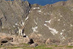 在高山的比格霍恩母羊 库存照片