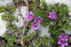 在高山的紫罗兰色花 图库摄影
