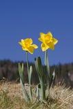在高山草甸的两棵黄色水仙 图库摄影