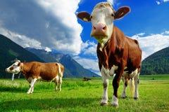 在高山草甸的两头母牛 免版税库存图片