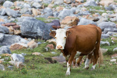 在高山草甸的母牛 免版税库存照片