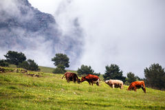 在高山草甸的母牛 图库摄影