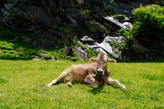 在高山草甸的母牛 库存图片