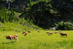 在高山草甸的母牛 库存照片