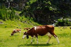在高山草甸的母牛 免版税图库摄影