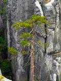 在高岩石中的唯一杉木在AdrÅ ¡帕赫特普利采在CZechia晃动 免版税库存图片