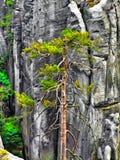 在高岩石中的唯一杉木在AdrÅ ¡帕赫特普利采在CZechia晃动 免版税图库摄影