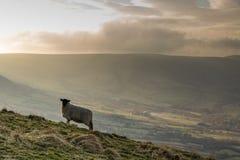 在高峰区的绿色领域的绵羊 库存照片