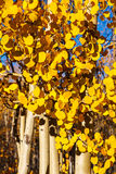 在高峰秋天颜色的亚斯本树 库存图片