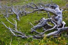 在高度的被风化的杉木 库存图片