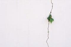 在高明的墙壁上的年幼植物成长 库存照片