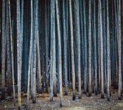 在高杉木中的圆锥形帐蓬 免版税库存图片