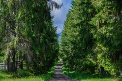 在高树冷杉之间的路 免版税库存图片