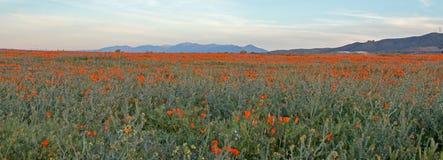 在高沙漠领域的加利福尼亚金黄鸦片在PALMDALE兰卡斯特和石英小山之间在南加州美国 库存照片