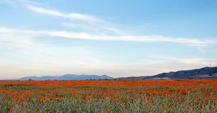 在高沙漠领域的加利福尼亚金黄鸦片在PALMDALE兰卡斯特和石英小山之间在南加州美国 库存图片