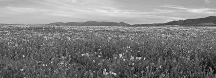 在高沙漠领域的加利福尼亚金黄鸦片在PALMDALE和石英小山之间在黑白的南加州美国- 库存图片