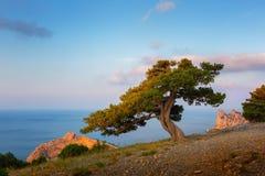在高海滨的孤独的杉木反对天空蔚蓝 免版税库存图片